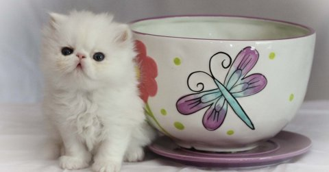 صور Purebred Micro-mini, Teacup Persians 1
