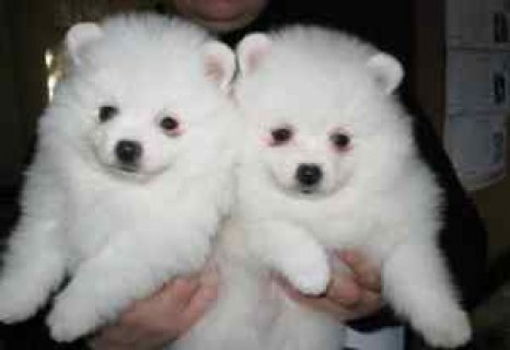 صور Playful Pomeranian Puppies Available For Adoption 1