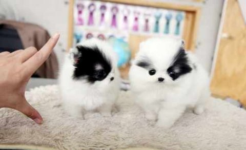 صور Precious Micro Teacup Poms for good rehoming 1