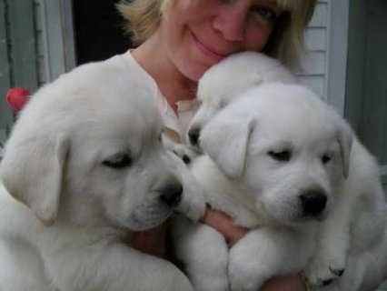 We offer lovely male and female Labrador Retriever