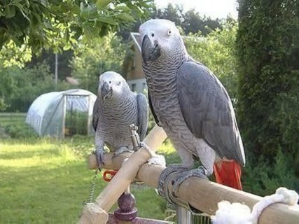 Well Trained Congo African Grey Parrots Now Availa