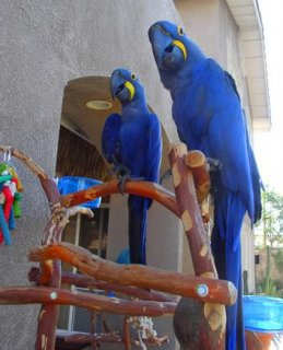 Pair Of Hyacinth Macaw Parrots Looking for a new h