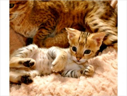 Savannah Kittens Food Homes