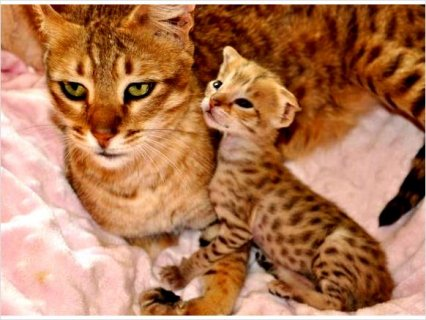 صور Shining savannah kittens For Sale  1