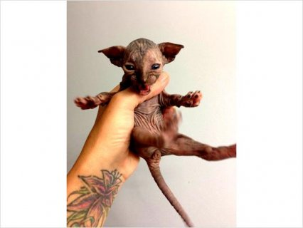 2 female sphynx kittens available for sale