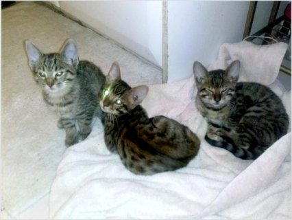 Egyptian Mau kittens For Sale Now Ready