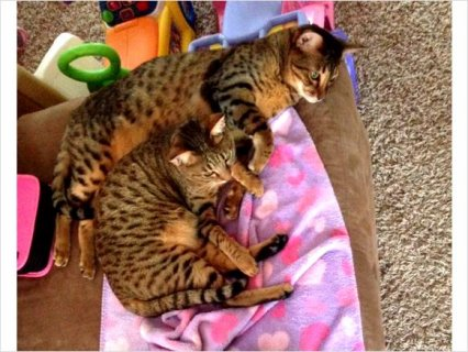 Savannah cats (brother & sister) F5 SBT breed For