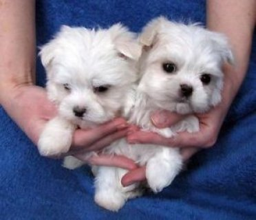 صور Teacup Maltese Puppies For Sale 1