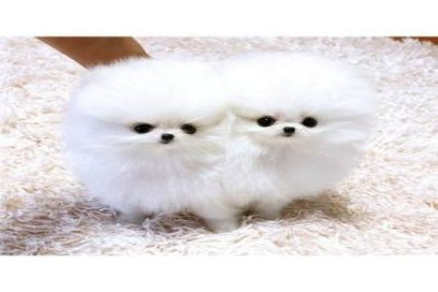 صور Cream Pomperanian Puppies for sale  1