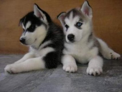 صور Siberian Husky Puppies For Sale1 1