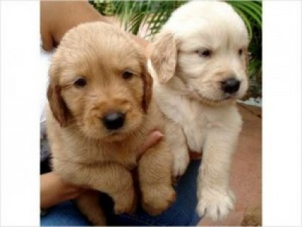 Awesome Golden Retriever Puppies Available For Sal