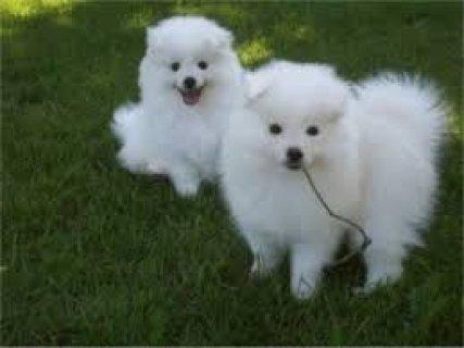 Two Healthy American Eskimos Puppies