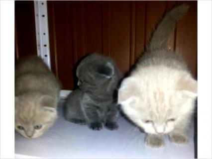 Scottish Fold kittens For Rehoming