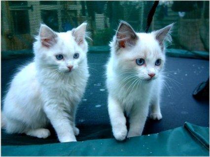 2 Beautiful Indoor Pedigree Ragdoll Kittens For Re