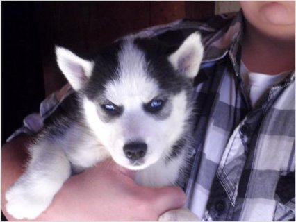 صور Siberian Husky Pups For Rehoming  1