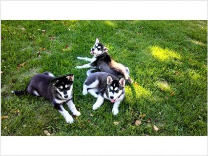 Alaskan Malamute Puppies for Rehoming