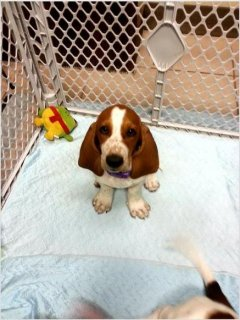 Akc Registered Basset Hound Puppies For Rehoming