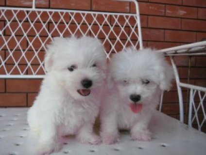 Bichon frise puppies ready(new christmas famliy me