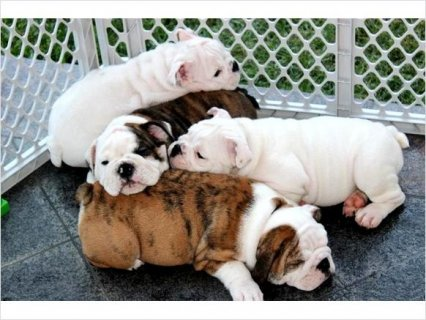 English Bulldog puppies For Rehoming Breed: Englis