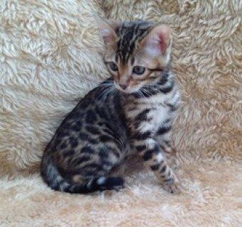 Ragdoll Kittens for Rehoming11