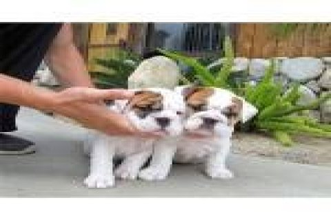 صور Amazing English Bulldog Puppy Available   1