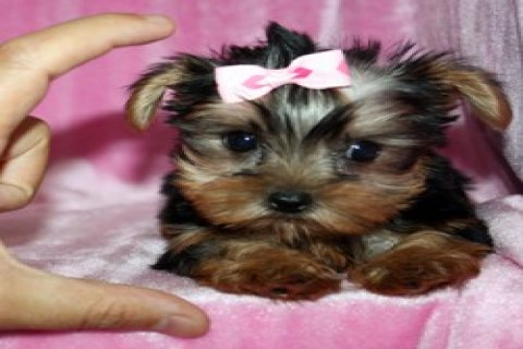 صور Fantastic Yorkshire Terrier Puppies 1