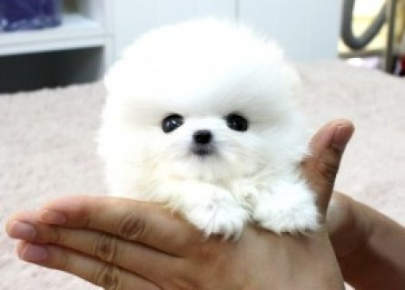 Teddy Bear, Short Nose Teacup Pomeranian Puppies F