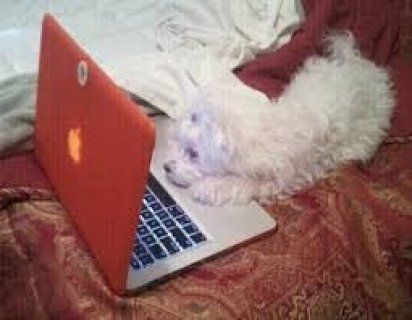 Nice Face Maltese Puppy Available For New Home