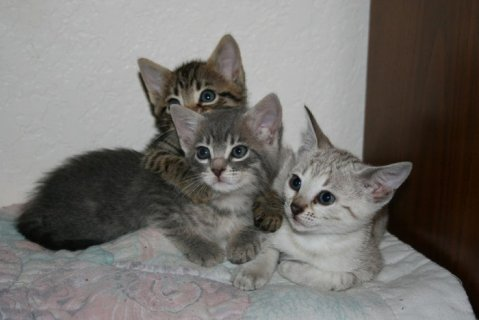 Rosetted Toyger Kittens Available
