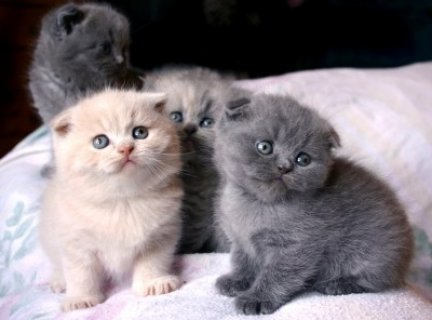 Black Scottish Fold Kittens Kitten