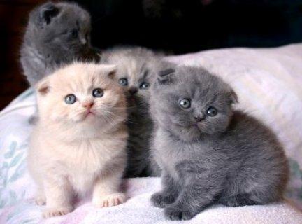 Black Scottish Fold Kittens Kitten