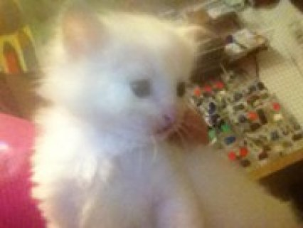 صور Doll Face White Persian Female Kitten 1