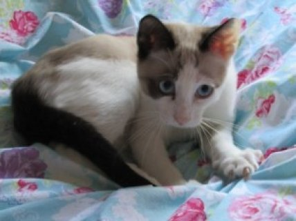 2 GCCF Registered Snowshoe Kittens