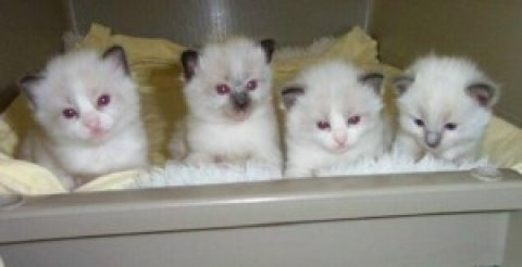 2 Ragdoll kittens New Years Addition to your famil