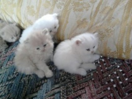 2 Toy Persian kittens ready for Xmas