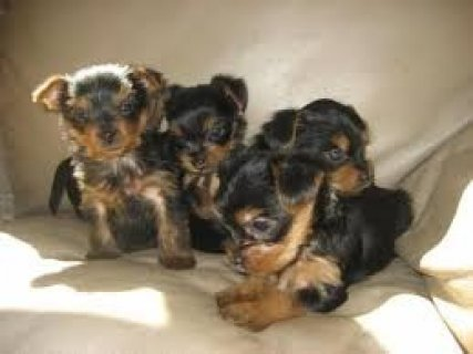 2 Top Quality Male and Female Yorkshire Terrier Pu
