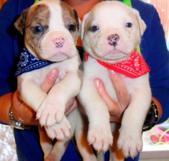 Chunky Solid Alapaha Bulldogs **** Blue Eyes ****
