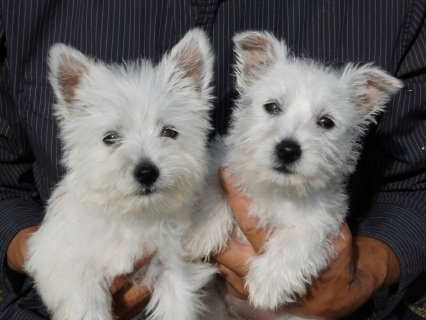 2 Adorable West Highland White Puppies Available N