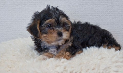 2 Cute Cross Yorkie Maltischon Puppies Cross Malt