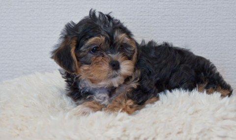 2 Cute Cross Yorkie Maltischon Puppies Cross Malt