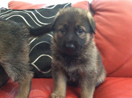 صور German Shepherd Puppies For Rehoming 1