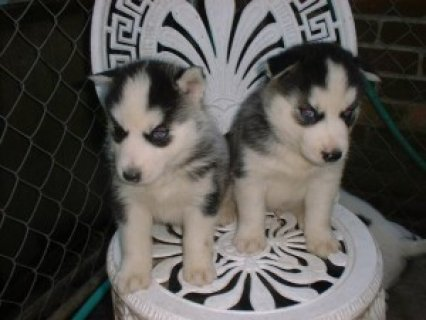 Now Going Siberian Husky Puppies For Rehoming
