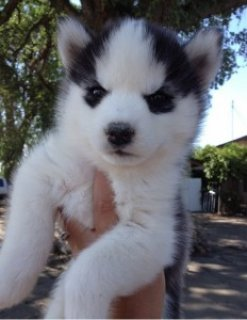 !Chow See Adorable Siberian Husky Puppies for Adop