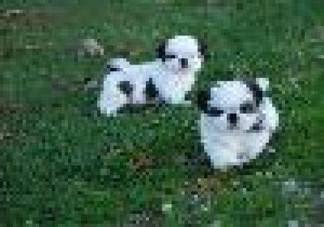 Shih-Tzu Puppies for adoption