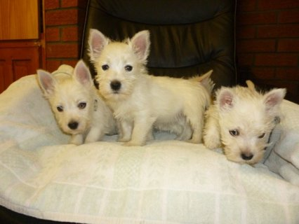 11 Weeks Old and West Highland Terrier Puppies For