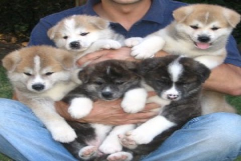 صور stunning Akita puppy both male and female For Xmas 1
