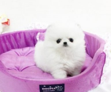 صور Little Breed Teacup Pomeranian Puppies Available F 1