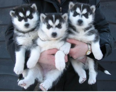 Blue Eyes Siberian Husky Puppies for Available For