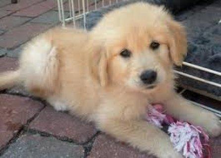 2 Purebred Golden Retriever Puppies 2