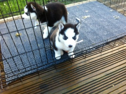 صور Marvelous Siberian Husky Puppies For XMas Gift Fam 1